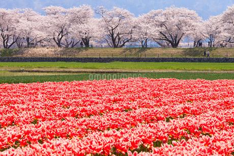 舟川ベリの桜とチューリップの写真素材 [FYI01683536]
