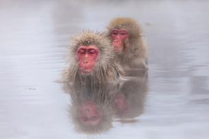 地獄谷野猿公苑の猿の写真素材 [FYI01683537]