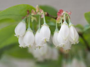ブルーベリーの花の写真素材 [FYI01683564]