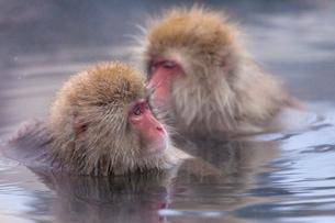 地獄谷野猿公苑の猿の写真素材 [FYI01683568]