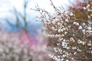 湯河原梅林の白梅の写真素材 [FYI01683572]
