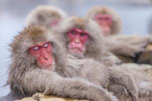 地獄谷野猿公苑の猿の写真素材 [FYI01683625]