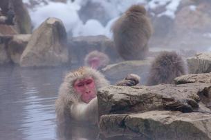 地獄谷野猿公苑の猿の写真素材 [FYI01683638]