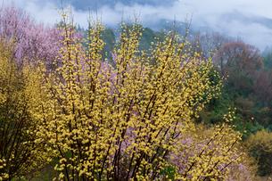 西吉野町サンシュユと桜の写真素材 [FYI01683640]