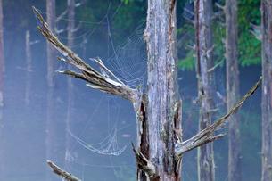 自然湖立ち枯れの木と蜘蛛の巣の写真素材 [FYI01683660]