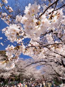 サクラが満開の上野公園の写真素材 [FYI01683670]