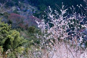 奈良県西吉野町桜の写真素材 [FYI01683680]