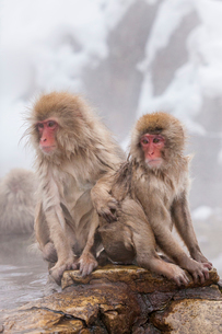 地獄谷野猿公苑の猿の写真素材 [FYI01683693]