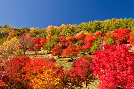 もみじ湖付近の紅葉の写真素材 [FYI01683734]