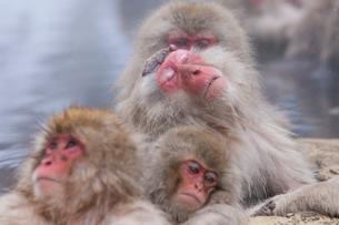 地獄谷野猿公苑の猿の写真素材 [FYI01683748]
