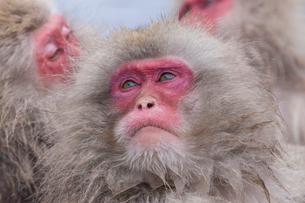 地獄谷野猿公苑の猿の写真素材 [FYI01683755]
