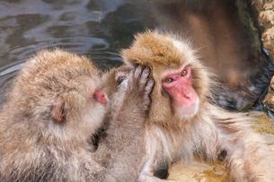 地獄谷野猿公苑の猿の写真素材 [FYI01683767]