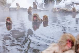 地獄谷野猿公苑の猿の写真素材 [FYI01683830]