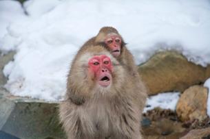 地獄谷野猿公苑の猿の写真素材 [FYI01683842]
