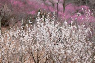 湯河原梅林の白梅と紅梅の写真素材 [FYI01683849]