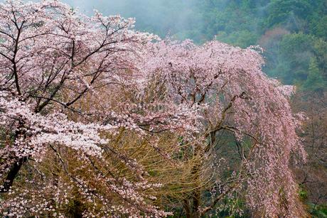 西吉野町枝垂れ桜の写真素材 [FYI01683890]