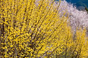 西吉野町サンシュユと桜の写真素材 [FYI01683944]