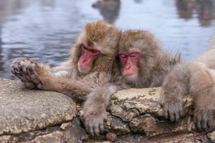 地獄谷野猿公苑の猿の写真素材 [FYI01683964]