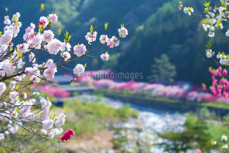 花桃の里の花桃の写真素材 [FYI01684028]