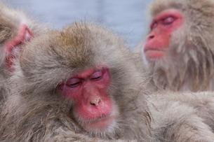 地獄谷野猿公苑の猿の写真素材 [FYI01684035]