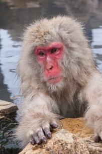 地獄谷野猿公苑の猿の写真素材 [FYI01684036]