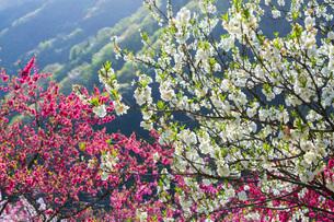花桃の里の花桃の写真素材 [FYI01684108]