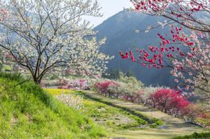 花桃の里の花桃と菜の花畑の写真素材 [FYI01684251]