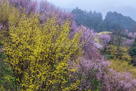 西吉野町のサンシュユと啓翁桜の写真素材 [FYI01684272]