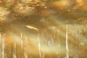 池に映る秋の美人林の紅葉の写真素材 [FYI01684309]
