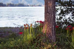 滋賀県 桂浜園地の彼岸花の写真素材 [FYI01684314]
