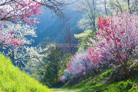 花桃の里の花桃の写真素材 [FYI01684317]