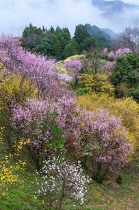 西吉野町のサンシュユと啓翁桜の写真素材 [FYI01684362]