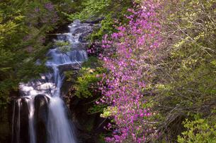 竜頭ノ滝とミツバツツジの写真素材 [FYI01684363]