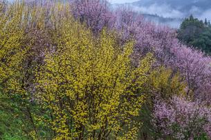 西吉野町のサンシュユと啓翁桜の写真素材 [FYI01684379]