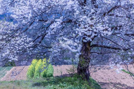 風に揺れる小川村の桜と菜の花の写真素材 [FYI01684385]