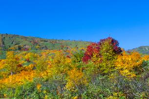紅葉で原色に染まる八幡平と青空の写真素材 [FYI01684386]