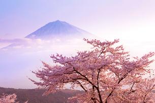 朝焼けの富士山と桜の写真素材 [FYI01684388]