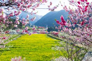 花桃の里の花桃と菜の花畑の写真素材 [FYI01684390]