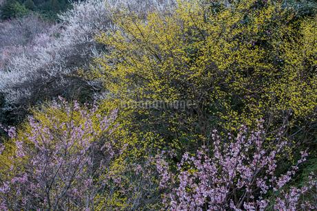 サンシュユの花と桜の写真素材 [FYI01684417]