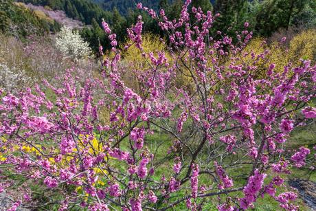 西吉野町の桃の花の写真素材 [FYI01684426]