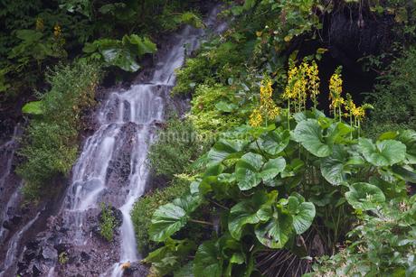 吐竜の滝メタカラコウと流れの写真素材 [FYI01684445]