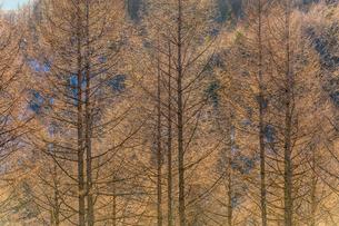 朝の光を浴びるカラマツ林の写真素材 [FYI01684459]