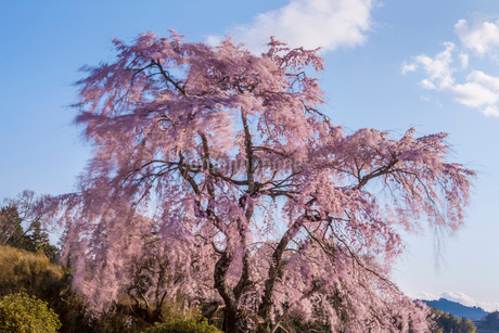 風に揺れるシダレ桜と青空の写真素材 [FYI01684469]