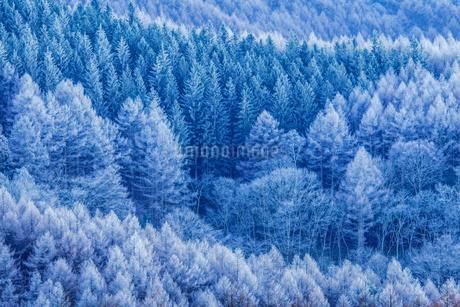 高ボッチ高原の霧氷のカラマツ林の写真素材 [FYI01684484]