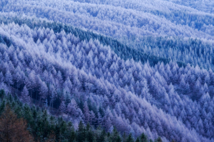 高ボッチ高原の霧氷のカラマツ林の写真素材 [FYI01684504]
