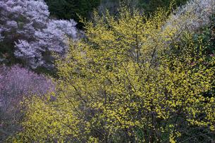 サンシュユの花と桜の写真素材 [FYI01684512]