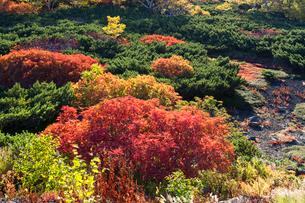 乗鞍岳位ヶ原の紅葉とナナカマドの写真素材 [FYI01684519]