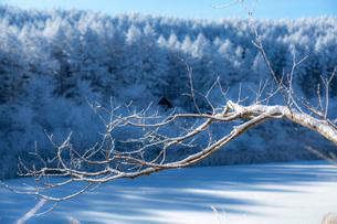 冬の聖高原の霧氷の樹木と青空の写真素材 [FYI01684531]