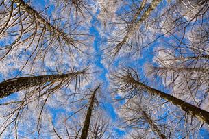 冬の聖高原の霧氷の樹木と青空の写真素材 [FYI01684532]