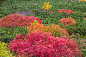 乗鞍岳位ヶ原の紅葉とナナカマドの写真素材 [FYI01684562]